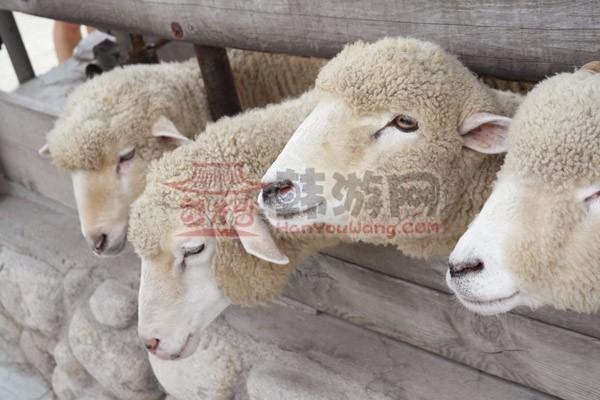 大关岭羊群牧场_韩国景点_韩游网