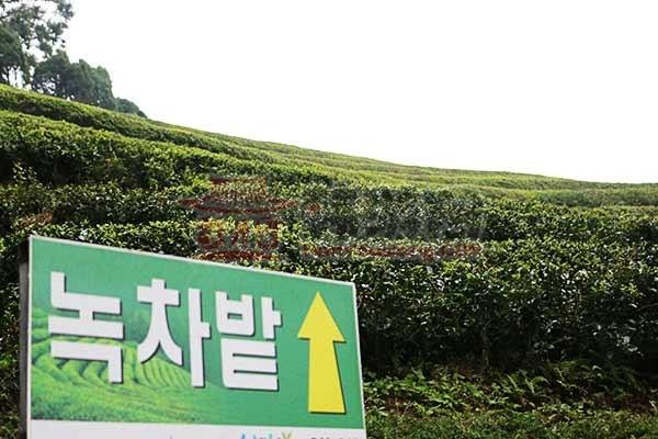 全罗南道的宝城绿茶田园11