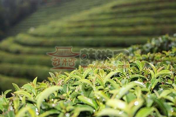 全罗南道的宝城绿茶田园12
