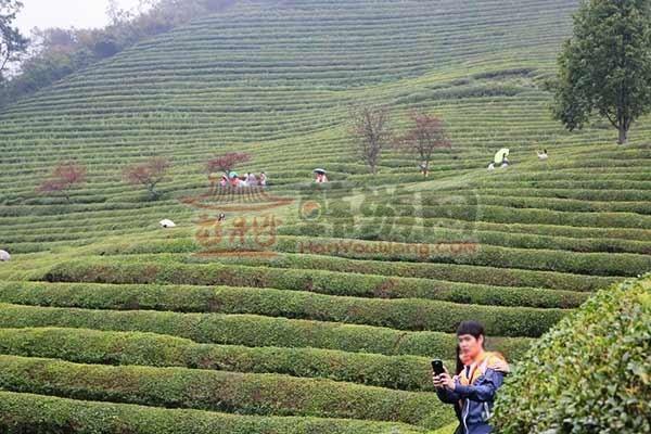 全罗南道的宝城绿茶田园15