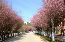 韩国济州岛精华景点:樱花大道