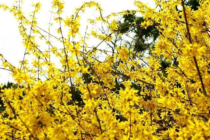 济州岛 迎春花 金达莱