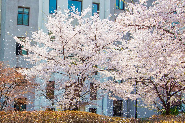 2016春天最美大学首尔地区BEST5 12