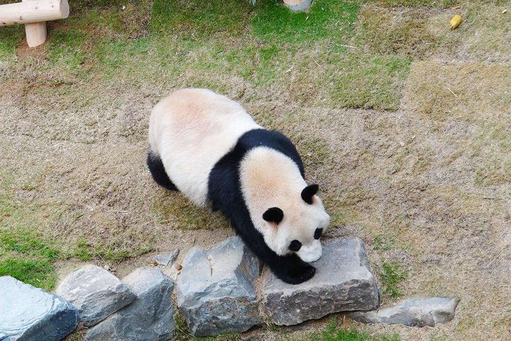 爱宝乐园爱宝和乐宝大熊猫 2014年7月,中国国家主席习近平在中韩首脑会谈上承诺向韩方赠送一对大熊猫,开展共同研究。2016年3月2日大熊猫保护研究中心的一对大熊猫乐宝(原名园欣)和爱宝(原名华妮)从研究中心都江堰基地装笼出发前往成都双流国际机场,两只大熊猫已于3日9时40分搭乘大韩航空专机从成都双流机场起飞到达韩国仁川机场并入驻韩国爱宝乐园专门为两只大熊猫设立的熊猫世界。 现在我们的爱宝和乐宝将在4月21号在韩国爱宝乐园和大家正式见面。