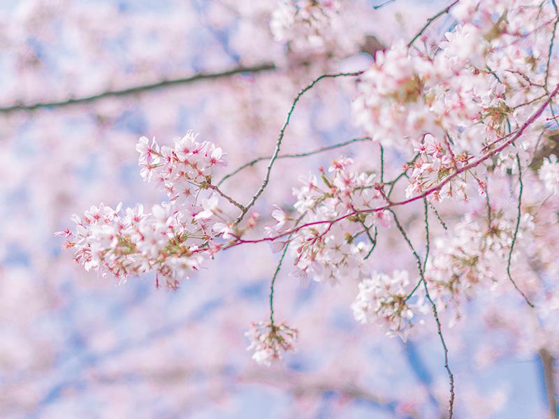 庆州樱花庆典一日游_赏樱预订-韩游网在线优惠