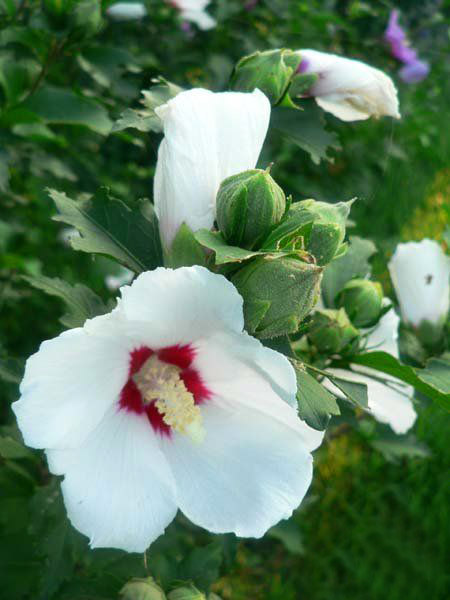 韩国国花木槿花