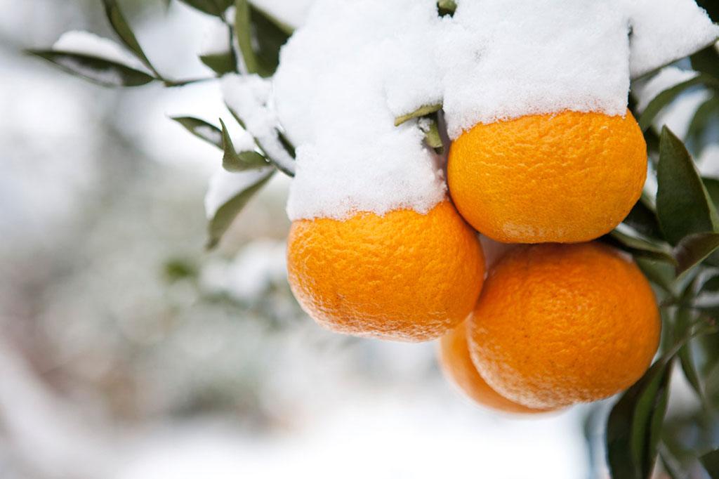 济州柑橘.jpg