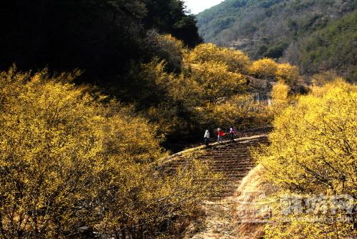义城山茱萸花 (1).jpg