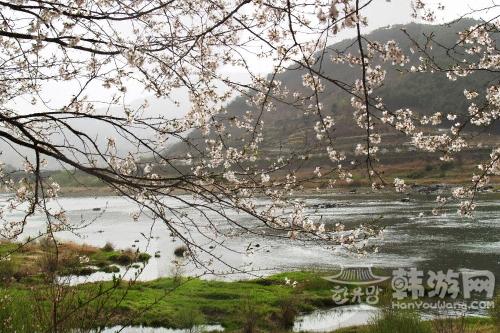 蟾津江边樱花节.jpg
