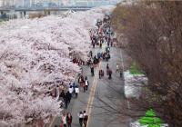 春花庆典于4月1日起在首尔汉江全区拉开帷幕