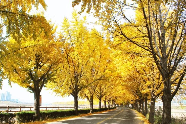 牙山银杏树路.jpg