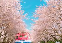 受新冠肺炎疫情影响,韩国镇海军港祭樱花节确定取消