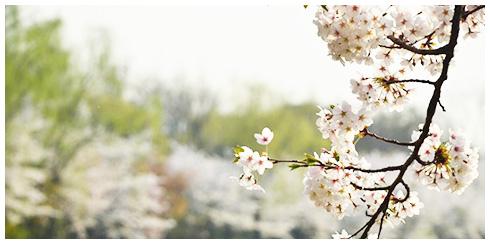 汝矣岛樱花庆典