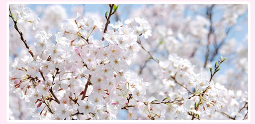 济州岛大樱花节