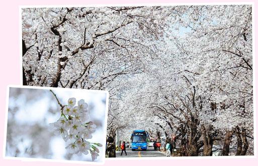花开市场 樱花庆典