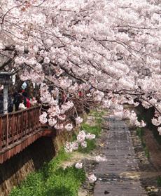 釜山镇海军港樱花节